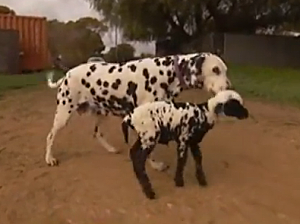 Dalmatian spotted lamb